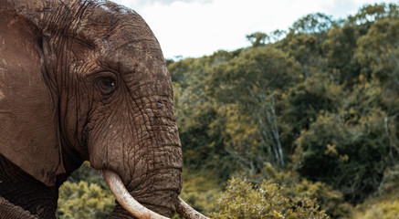 Elefantenkopf seitlich in der Natur bunt; Addo Elephant National Park Südafrika