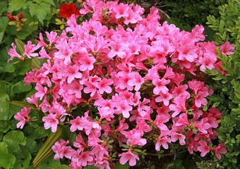 Azalée japonaise rose