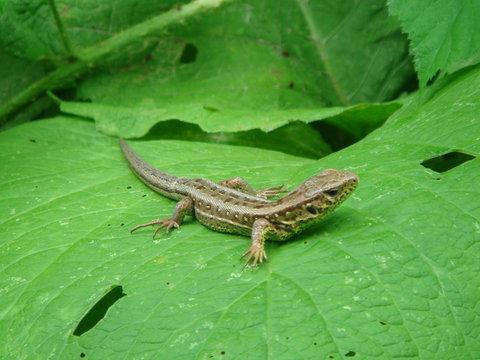 Lacerta agilis on leaf