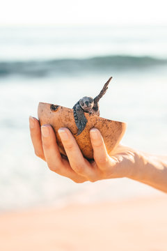 Female hands holding a coconut bowl with a small turtle