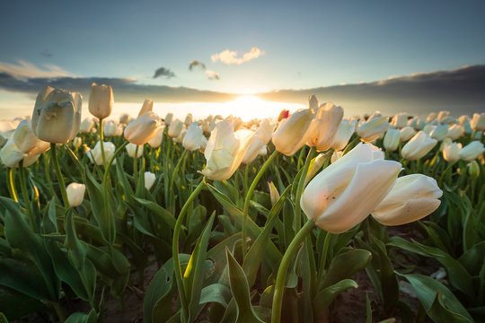 field with white tulips in sunshine
