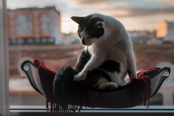 gato blanco y negro sentado en una hamaca junto a la ventana , busca sitio donde acostarse Wall mural