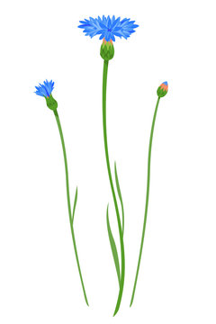 Cornflower flowers with bud at different stages of flowering isolated illustration, composition for bouquet of wildflowers, illustration of bachelors button flower