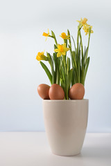 Three natural Easter eggs in a flower pot with yellow blooming daffodils (Narcissus) against a blue bright background with copy space,