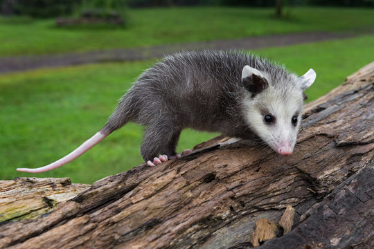 Virginia Opossum Joeys (Didelphis virginiana) Stands Atop Log Summer