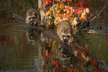 Wall Mural - Raccoons (Procyon lotor) Balance on Logs in Pond Autumn