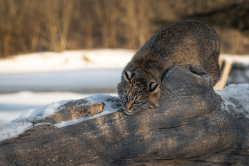 Wall Mural - Bobcat (Lynx rufus) Leaves Scent By Rubbing Cheek on Log Winter