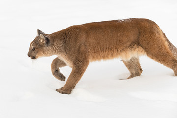 Wall Mural - Adult Female Cougar (Puma concolor) Stalks Left Through Snow Winter