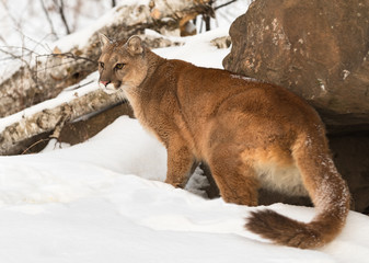 Wall Mural - Adult Female Cougar (Puma concolor) Stares Out Turning at Den Winter