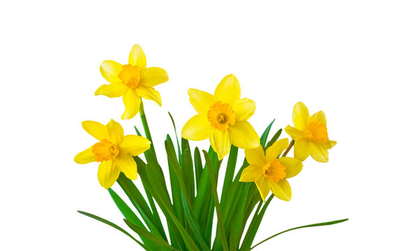 Yellow daffodils flowers isolated on white background