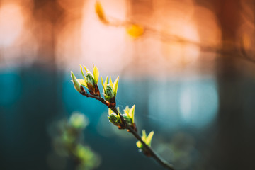 Young Spring Green Leaf Leaves Growing In Branch Of Forest Bush Plant Tree During Sunrise Or Sunset. Young Leaf In Sunlight On Boke Bokeh