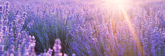 Poster Lavande Flowers at sunset rays in the lavender fields in the mountains. Beautiful image of lavender over summer sunset landscape.