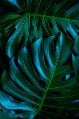 Wall Mural - green monstera leaf background, tropical leaf, abstract green leaf texture