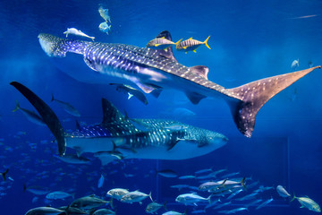 Churaumi Aquarium, Okinawa, Japan - January 9, 2019 : One of the world's largest fish tank. There are many peoples coming to visit one of the best aquarium in Japan. Wall mural