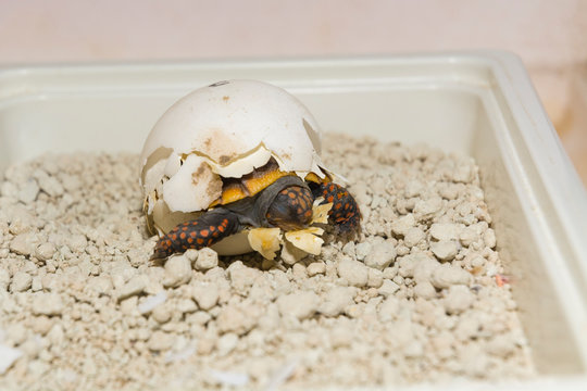 Hatching red-footed tortoise baby is still in egg