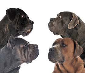 Fototapete - cane corsos in studio