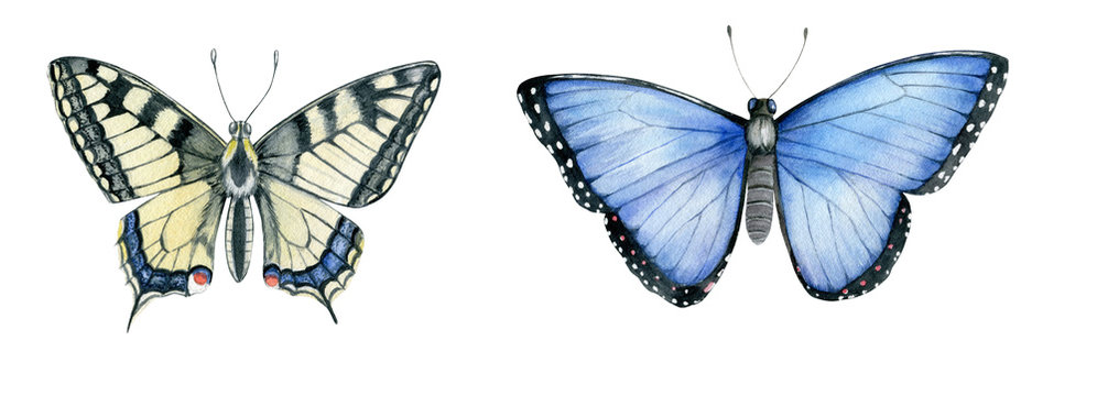 Watercolor Butterflies (Papilio machaon, Menelaus blue morpho) Isolated on White Background. Hand Drawn Illustration