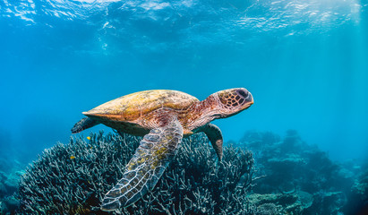 Green sea turtle swimming in the wild among pristine and colorful coral reef