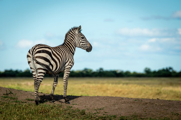 Plains zebra stands on bank facing right