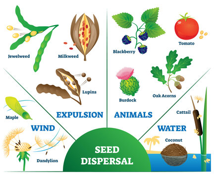Seed dispersal vector illustration. Labeled plant movement division scheme.