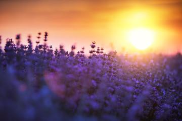 Foto op Canvas Snoeien Lavender flower in the field