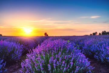 Keuken foto achterwand Lavendel Lavender flower in the field panoramic view