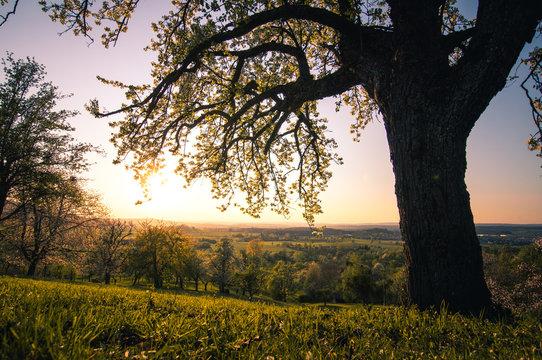 Baum bei Sonnenuntergang im Frühjahr
