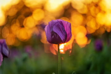 Violet poppies during the golden hours