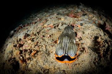 macro nudibranco lumaca di mare
