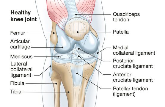 Healthy knee joint, medical accurate illustration
