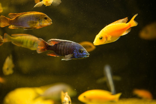 Colorful african chiclids