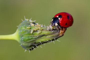 Fototapeta ladybug is eating aphids obraz