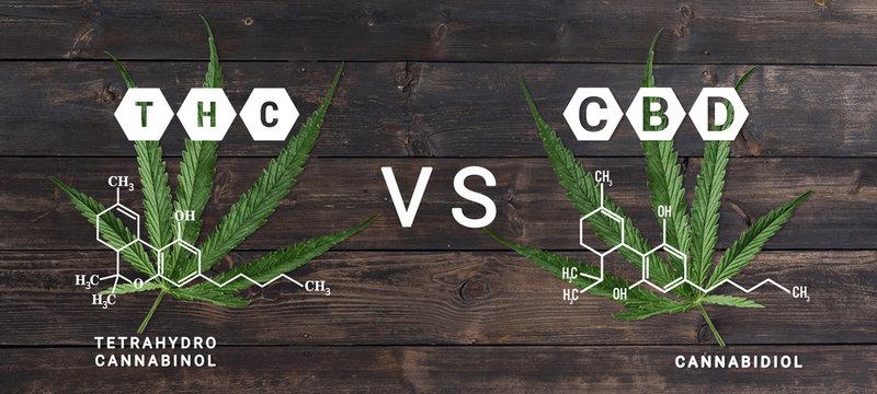 THC vs CBD - cannabis sativa leaf marijuana on wooden table background with THC and CBD formula