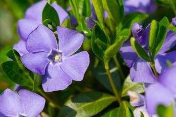 Wall Mural - Violet periwinkle flowers
