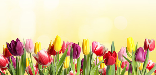 Papiers peints Tulip Many beautiful tulips on light background. Banner design