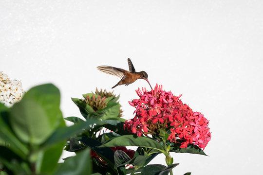 hummingbird on rose flowers