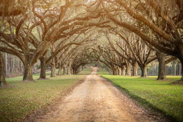 Photo Blinds Trees Beautiful sunlit southern georgia road driveway with canopied pecan trees starting to bloom in the spring with a yellow sunlit warm glow