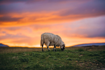 Tuinposter Schapen sheep grazing in field at sunset isle of skye scotland