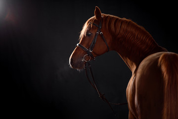 Foto op Canvas Paarden arabian horse portrait with classic bridle isolated on black background