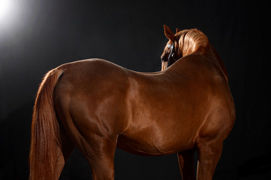 arabian horse portrait with classic bridle isolated on black background