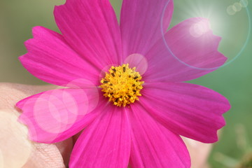 Poster Rose hand hold pink and purple cosmos flower in garden have flare light