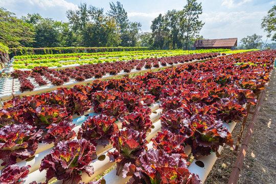 Gardening Green red leaf lettuce on garden bed in vegetable field