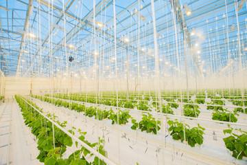 Big hydroponics greenhouse farm, is a lot of greens and vegetables