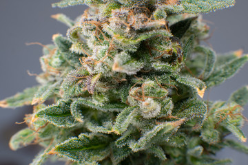Sativa Fresh green weed In details. Indica flower. Pot green flower. Macro trichomes of cannabis.