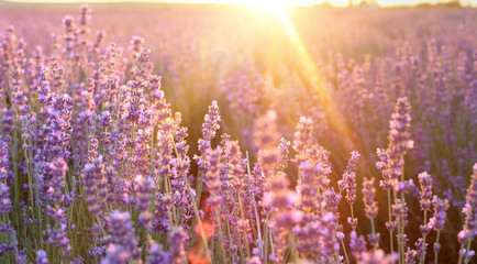 Beautiful image of lavender field over summer sunset landscape. Sunset rays over a lavender flowers.