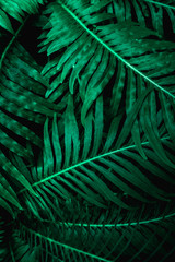 Wall Mural - abstract green fern leaf texture, dark blue tone nature background, tropical leaf