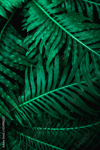 Wall mural abstract green fern leaf texture, dark blue tone nature background, tropical leaf