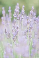 Spoed Fotobehang Lavendel Le champs de lavande couleur pastel