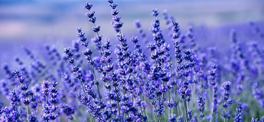 Lavender Field in the summer. Aromatherapy. Nature Cosmetics.