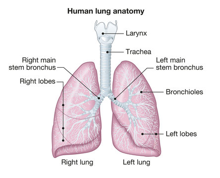 Human lungs anatomy, medically illustration